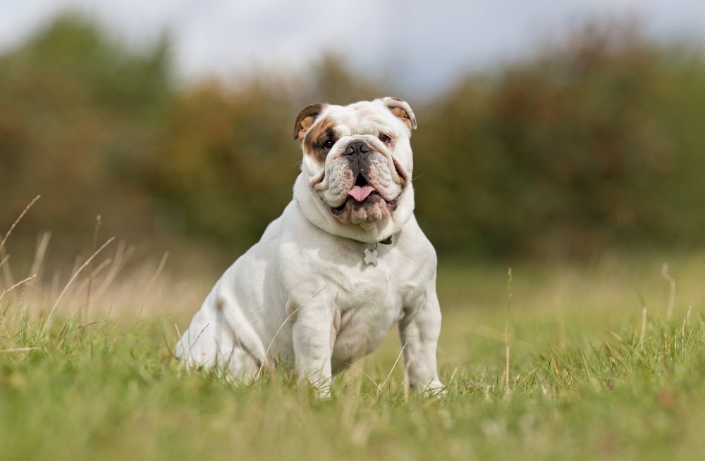 Patient Success Story: Addressing Brachycephalic Obstructive Airway Syndrome & Related Symptoms